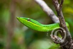 Vine Snake (Oxybelis fulgidus) (jimgoldstein) Tags: green animal costarica reptile snake wildlife vinesnake mywinners oxybelisfulgidus jmggalleries jimmgoldstein canon1dsmarkiii