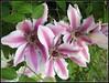 clematis 5-09 (LarrynJill) Tags: pink flowers plants oregon spring backyard purple clematis eugene picnik