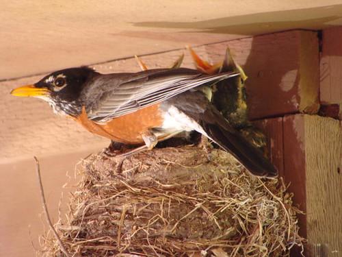 Robin's nest.