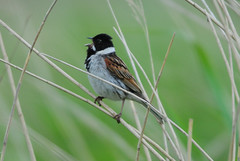 Male Reed Bunting (Emberiza schoeniclus) Singing at RSPB Blacktoft Sands (Steve Greaves) Tags: brown green bird nature reeds call singing display bokeh wildlife aves naturalhistory naturereserve sing blackhead perch perched marsh calling avian manfrotto songbird monopod whitecollar reedbed rspb reedbunting 2xteleconverter blacktoftsands commonreedbunting emberizaschoeniclus 680b nikond300 nikonafsii400mmf28ifedlens