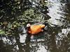 Safari world, Thailand (S U J A) Tags: travel vacation duck goose maldives bangko dhivehi raajje