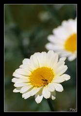 Mr. Busy... (sunrisepenny...Penny Wojahn..) Tags: flowers fun pw sandysgarden pennywojahn pwonlocationphotography