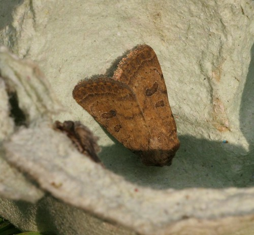 Mottled Rustic (Caradrina morpheus) - Fairly sure?