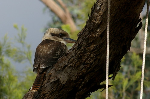 kookaburra by the swing