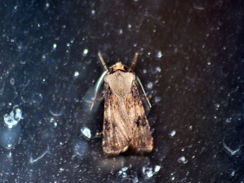 Shuttle shaped Dart (Agrotis puta puta)