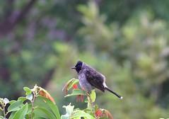 Red_Vented_Bulbul-1 [Pycnonotus cafer] (indiandevu) Tags: redvent bulbul redventedbulbul koynabirds