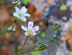 Fendler's Sandwort (Lynn photographing the world) Tags: flower colorado wildflower rockymountainnationalpark sandwort fendlerssandwort