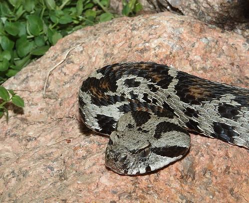 Tokara Habu, Habu Snakes, Japanese snakes