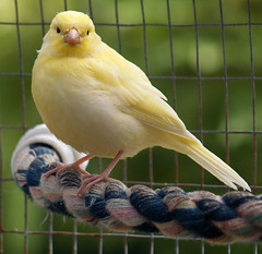 Yellow Canary (the.deanery) Tags: uk england bird yellow olympus aviary canary e500 fourthirds aviculture birdkeeping
