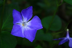 Blue in the Forest (SunnyDazzled) Tags: flower nature forest millcreek oregone