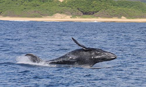 humpback_calf_breaching