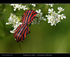 Graphosoma italica (Greet N.) Tags: red black insect wants mei rood zwart greet sonya350 graphosomaitalica gestreepteschildwants