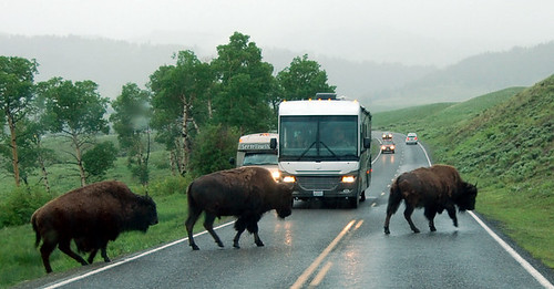 bison cross road yellowstone