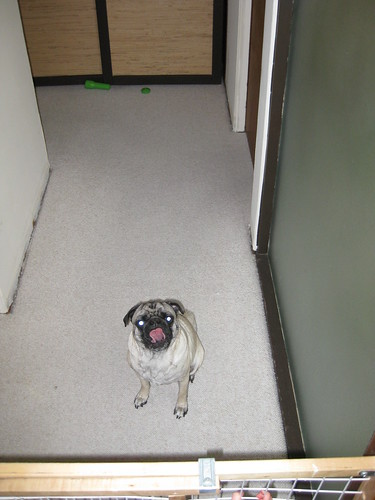 posessed pug opens treat stick