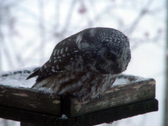 owl4756.jpg