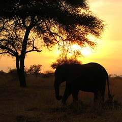 Elephant at sunset on safari (@Doug88888) Tags: pictures sunset elephant tree tanzania image picture images safari buy purchase