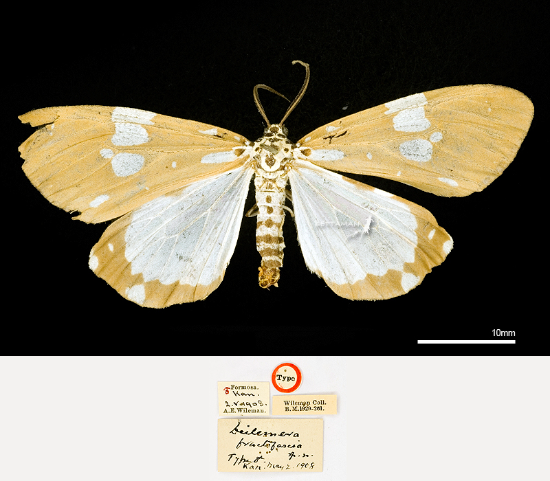 BMNH_Lectotype_Utetheisa (Pitasila) fractifascia (Wileman, 1911)