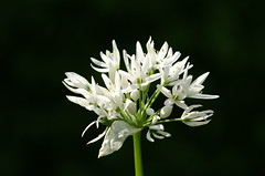 Wild Garlic (Roam-Photography) Tags: wild flower macro garlic allium ramson alliumursinum brlauch daslook ursinum