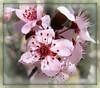 Plum Blossoms - Explore 3/13/09 #68 (dart5150) Tags: pink macro spring plumtree plumblossoms tinyflowers naturesfinest flowersmacroworld simplythebest~flowers vosplusbellesphotos cffaa