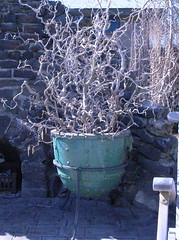 Flower Pot (boisebluebird) Tags: flowers garden michael landscaping boise patio walkingstick flowerpot shrub contortedfilbert landscapedesign toolson northendboise boisegardens gardenboise landscapingboise syringalandscapecompany michaeltoolson boisebluebirdcom httpwwwboisebluebirdcom boiselandscaping boisegardener