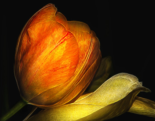 Tulip by dbullens.