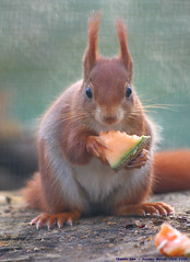 What!!!...you want some of my mellon??? (law_keven) Tags: red england animals kent furry squirrel dof bokeh furryfriday melon wildwood redsquirrel explore500