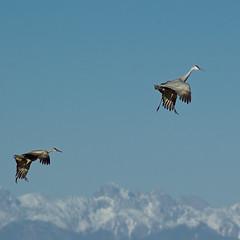 sky walkers (zyrcster) Tags: sky mountains birds wildlife cranes sanluisvalley migration sandhillcrane montevista gruscanadensis colorfulcolorado pfosilver montevistawildliferefuge tamronaf75300mm1458ld