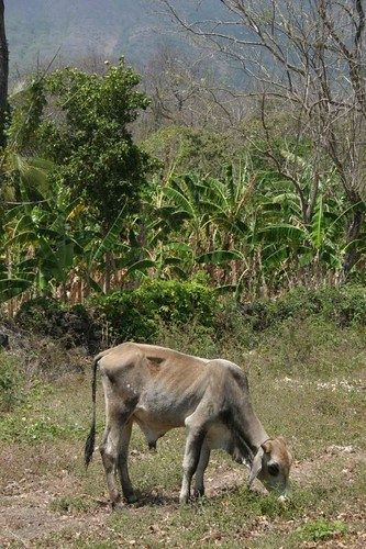 Cattle on Isla Ometepe...