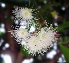 H.B.W. (pennyeast) Tags: white flower macro nature garden southafrica botanical capetown mygarden eugenia myrtaceae syzygium paniculatum myrtleberry australiancherry syzygiumpaniculatum papaalphaecho