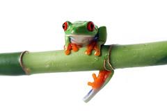 Hanging Around (Megan Lorenz) Tags: red green eye closeup studio colorful bright vibrant amphibian bamboo frog whitebackground exotic treefrog isolated redeyedtreefrog