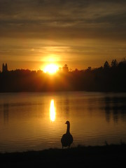 Bird (historygradguy (jobhunting)) Tags: sunset sun reflection bird water animal silhouette boston ma massachusetts newengland goose reservoir mass brookline chestnuthill niner bigmomma babymomma challengeyouwinner aplusphoto platinumheartaward 100commentgroup