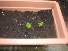 Potatos sprouting