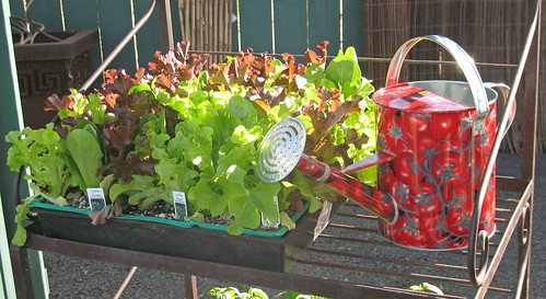 lettuce, tomato watering can
