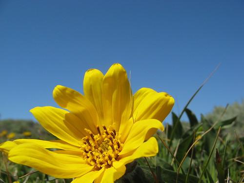 Coast daisy