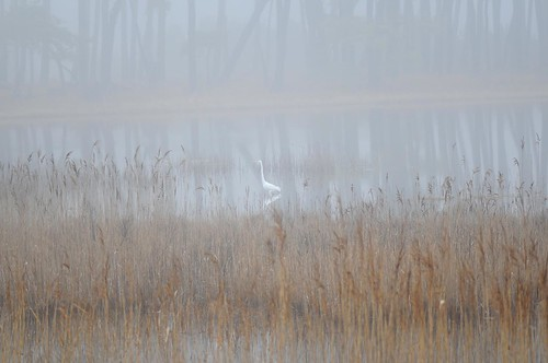 Great Egret and Fog
