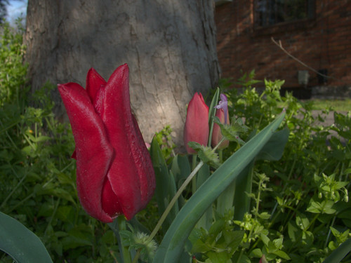 Tulips, March 30, 2009