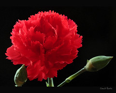 Red Carnation (Chuck Hunts) Tags: flowers flower carnation redcarnation canonefs60mmf28macro fantasticflower photoshopcs3 canoneos450d