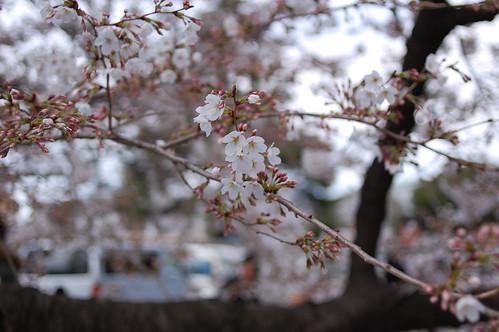 Not yet full bloom
