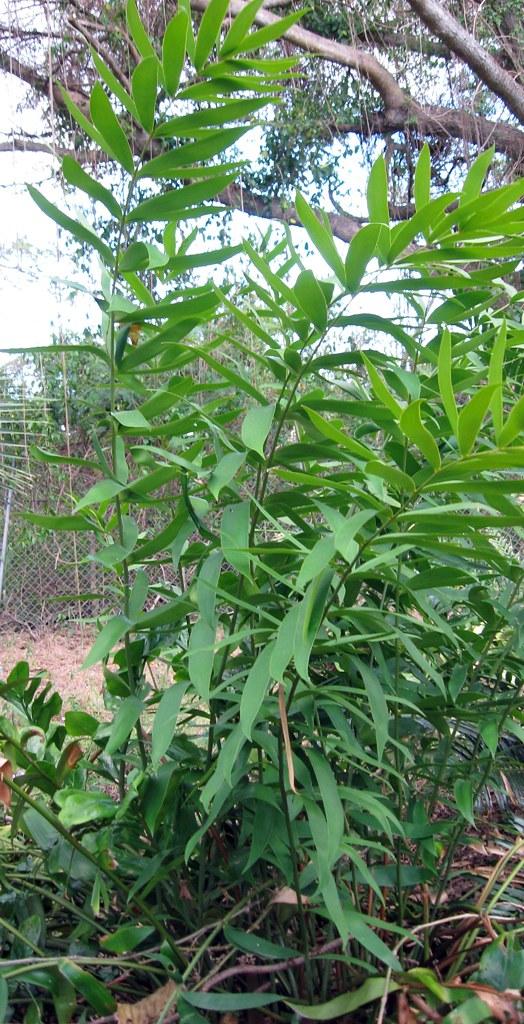 ceratozamia hildae2