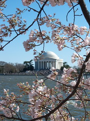 picture of jefferson memorial through cherry blossoms in bloom, shared via creative commons license from the flickr photostream of cliff1066