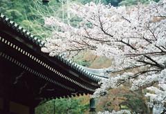 sakura 5 (南禅寺境内) (転倒虫) Tags: japan cherry temple spring kyoto 京都 桜 sakura nanzenji 春 南禅寺