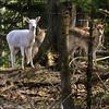 ~ Spirit Deer ~ (ViaMoi) Tags: white canada nature wildlife deer albino naturalist spiritdeer viamoi