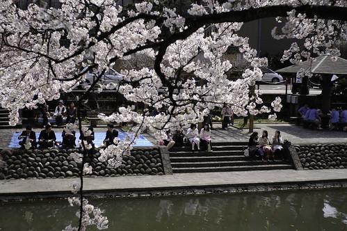 富山の桜 2