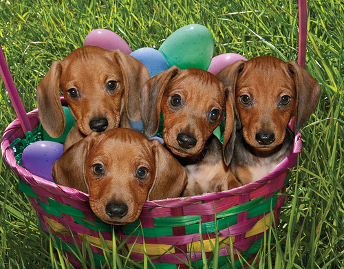 "Puppies, April 2009 ""Rescue Dachshund"""