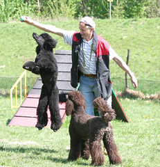 flying Darleen (darleen2902) Tags: brown playing black ball royal poodle caniche misura pudel darleen ballspiel standerdpoodle