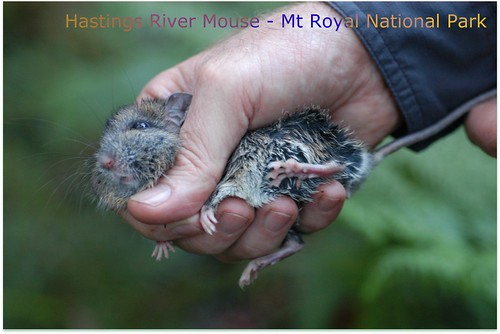 Hasting River Mouse 3 - blog