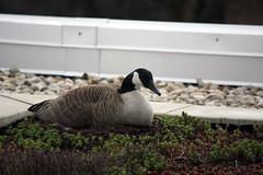IMG_4679 (Skokie Public Library) Tags: goose greenroof ewa skokiepubliclibrary