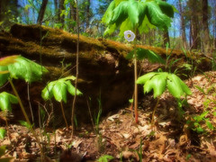 Mayapple bloom (Ron,Ron,Ron) Tags: nature forest moss spring log woods hiking missouri lowdown 2009 apr09 mayapplebloom bablerstatepark flickrgolfclub