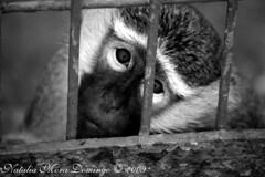 Cautividad... (Nat Mora Domingo -Enêmede-) Tags: madrid animal tristeza mono spain sad safari triste animales cautividad