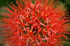 Scadoxus (Jaime Carter) Tags: newzealand orange flower green southafrica 50mm dof bokeh hamilton waikato f18 scadoxus waikatouniversity universityofwaikato scadoxusmultiflorus cmwd cmwdorange jaimewalsh